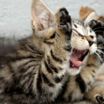 Screaming Kitten, by GalgenTX